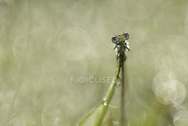 Лазурная муха на травинке — стоковое фото