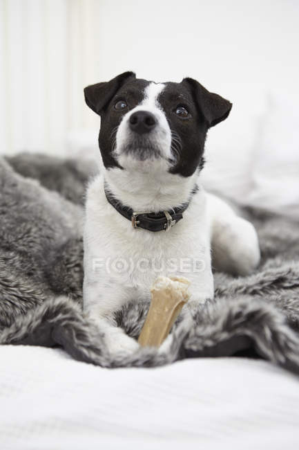 Little dog sitting on bed with dog treat and looking up — Stock Photo