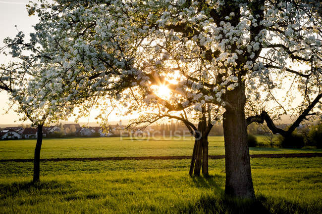 Blossoming pear trees on a meadow in the evening — Stock Photo