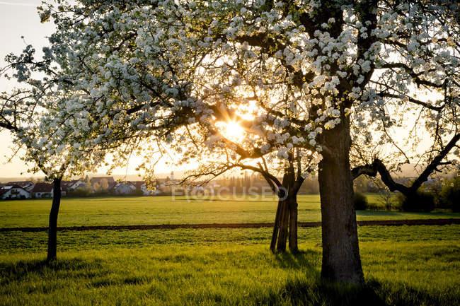 Pereiras florescimento num prado à noite — Fotografia de Stock
