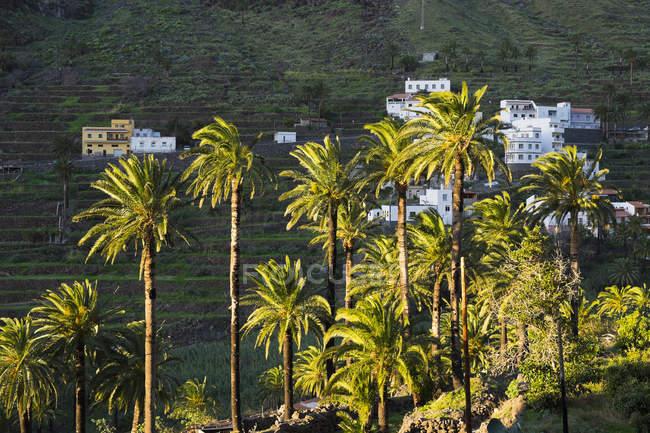 Spanien, Kanarische Inseln, La Gomera, Valle Gran Rey, Kanarischen Insel Dattelpalmen — Stockfoto