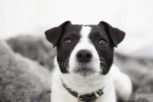 Маленькая собачка сидит на кровати и смотрит в камеру — стоковое фото