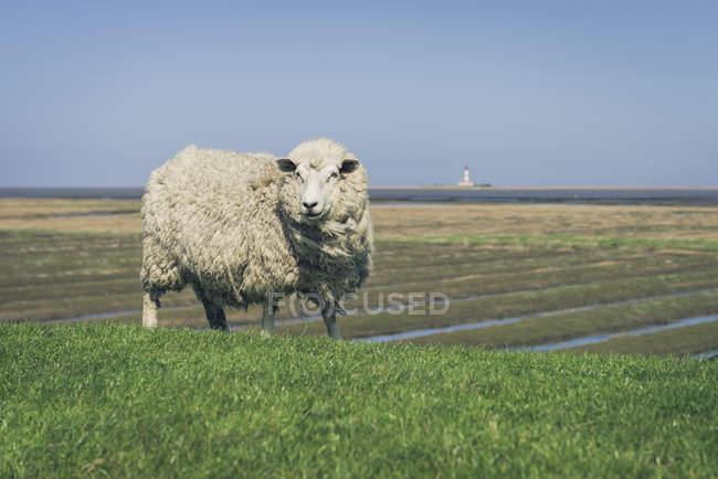Moutons sur le pré vert à vent wetaher — Photo de stock