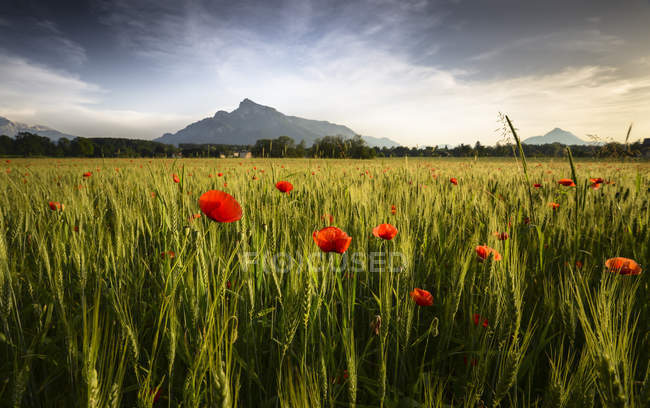 Austria, Salzburg State, field with poppies in the evening, Untersberg and Hochstaufen in the background — Stock Photo