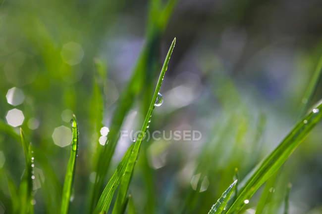 Rocío sobre la hierba, cerca - foto de stock