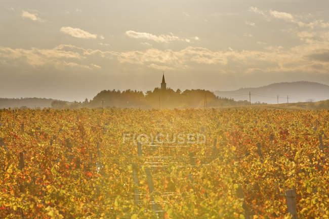 Austria, Burgenland, distrito de Oberpullendorf, Lackendorf, viñedo e iglesia en otoño - foto de stock
