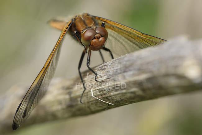 Libellula fulva dragonfly — Fotografia de Stock