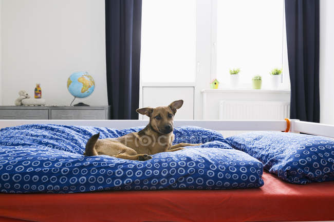 Pet dog  lying on bed in room — Stock Photo