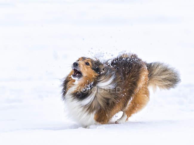 Shetland Sheepdog correndo na neve com a boca aberta — Fotografia de Stock