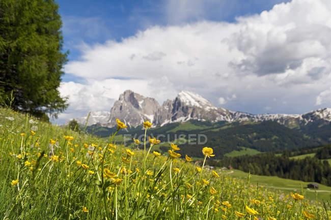 Italie, Tyrol du Sud, Globe Flowers, Trollius europaeus, Langkofel et Plattkofel en arrière-plan — Photo de stock