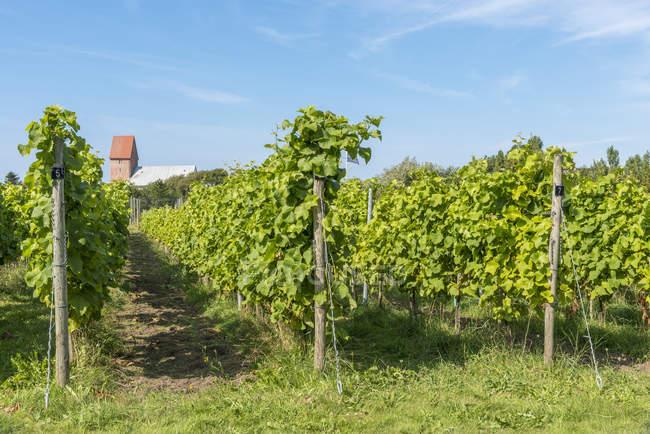 Deutschland, Schleswig-Holstein, Sylt, Keitum, Weinbau Gras tagsüber — Stockfoto