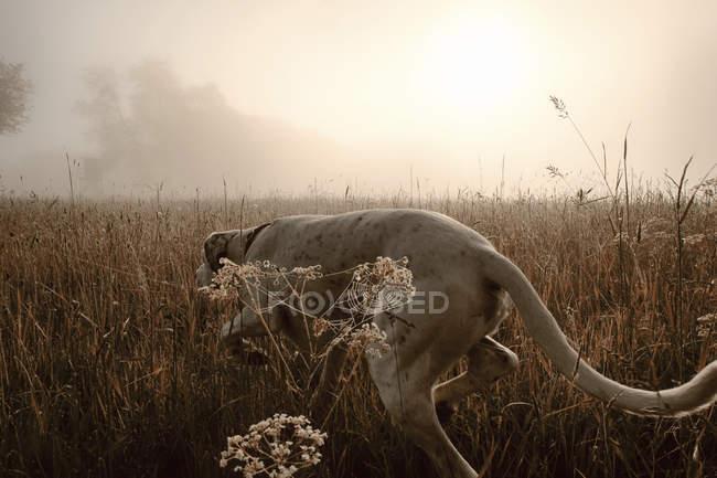 Мисливська собака гончак в поле в ранковому світлі — стокове фото