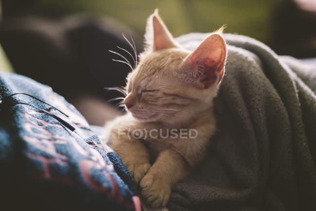 Tabby gatito durmiendo en el regazo de la mujer - foto de stock