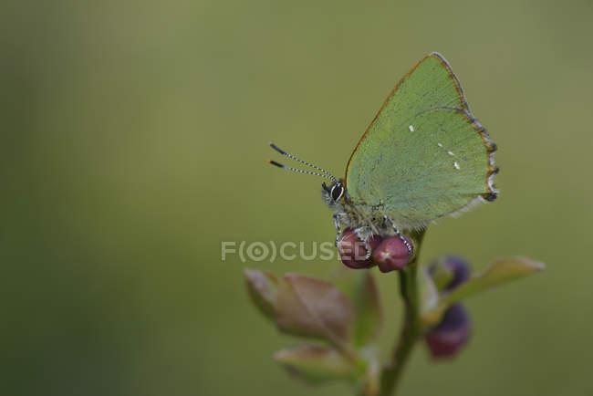 Callophrys rubi borboleta — Fotografia de Stock