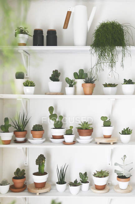 Collection of cacti and succulents on shelves — Stock Photo