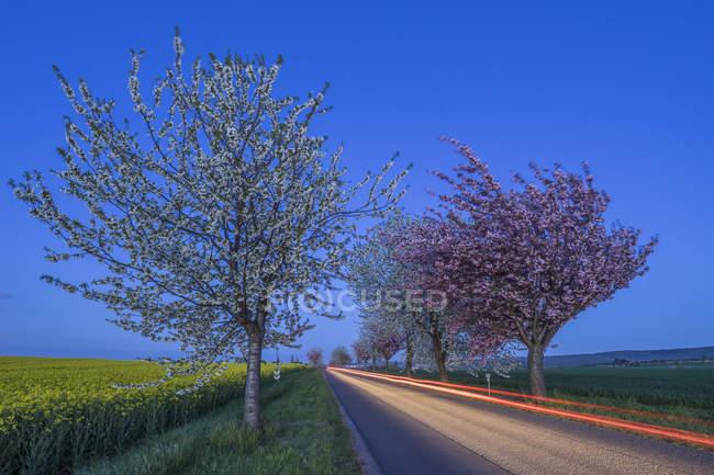 Цветущие вишневые деревья в стране дороги, синий час, Германия — стоковое фото