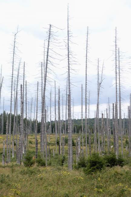 Німеччина, регіоні Harz, Brocken, мертві дерева в лісі — стокове фото