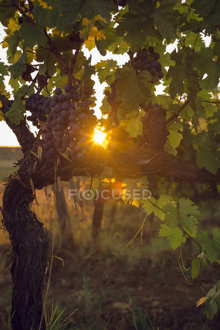 Red grapes hanging from vine at backlight — Stock Photo