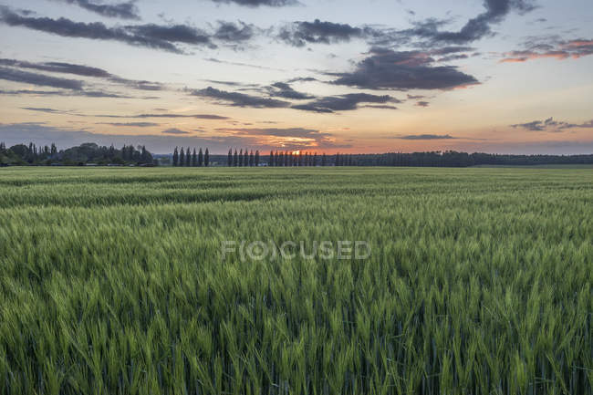 Germany, Lower Saxony, Field of wheat at sunset — Stock Photo