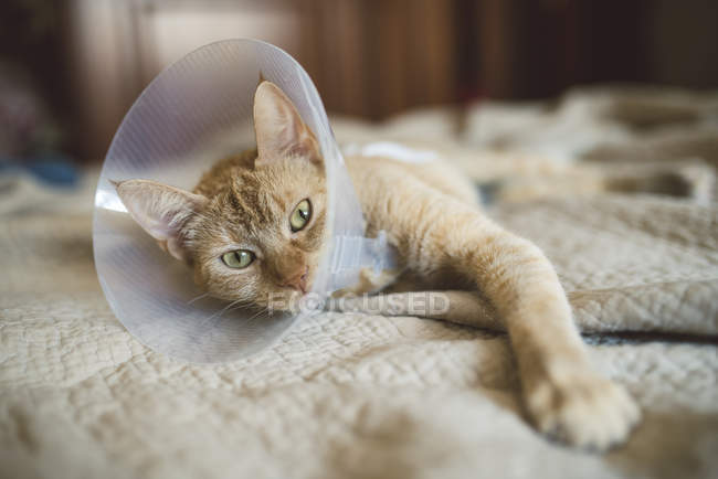 Cat with elizabethan collar lying on bed — Stock Photo
