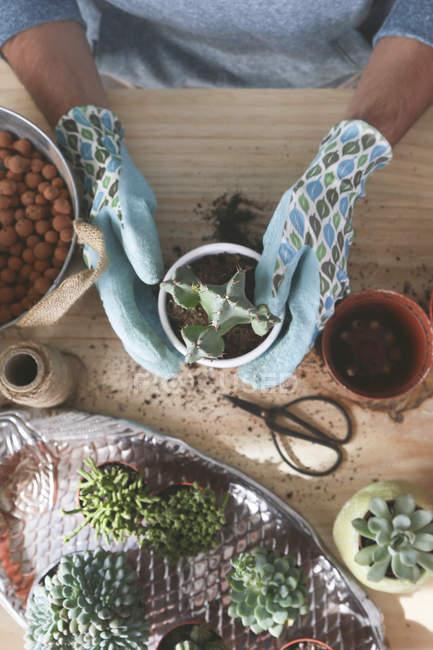 Giovane uomo trapianto di cactus sul tavolo di legno — Foto stock