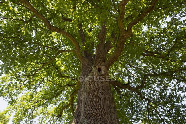 Allemagne, Bavière, Basse-Franconie, Chêne pédonculé, Quercus robur — Photo de stock