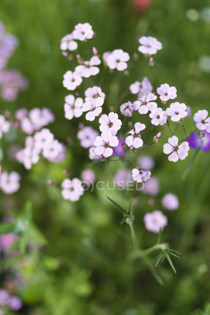 Phlox rose sur fond flou vert — Photo de stock