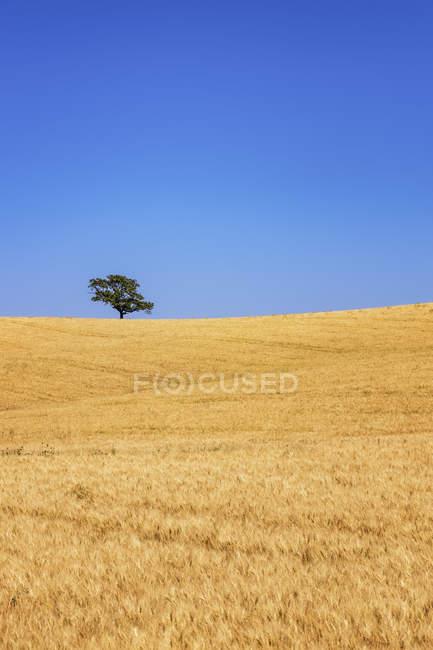 Іспанія, Андалусия, ячмінь поля і дерево денний час — стокове фото
