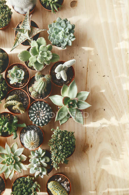 Cactus and succulents on wood — Stock Photo