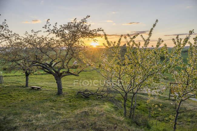 Germania, Thale, Weddersleben, fioritura ciliegi vicino alla parete del diavolo la sera — Foto stock