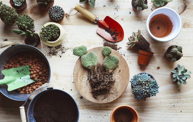 Transplante de cactos, 0puntia microdasys, numa superfície de madeira — Fotografia de Stock