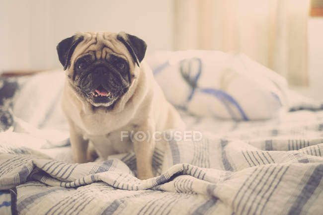 Pug sitting on bed and looking at camera — Stock Photo