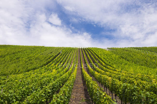 Germany, Bavaria, Upper Franconia, vine yard Escherndorfer Lump near Vollkach — Stock Photo
