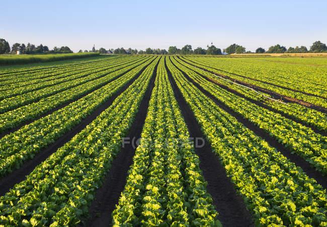 Paysage avec champ de salade verte — Photo de stock