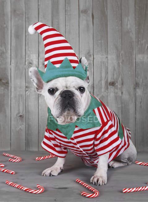 French bulldog wearing Christmas elf costume — Stock Photo