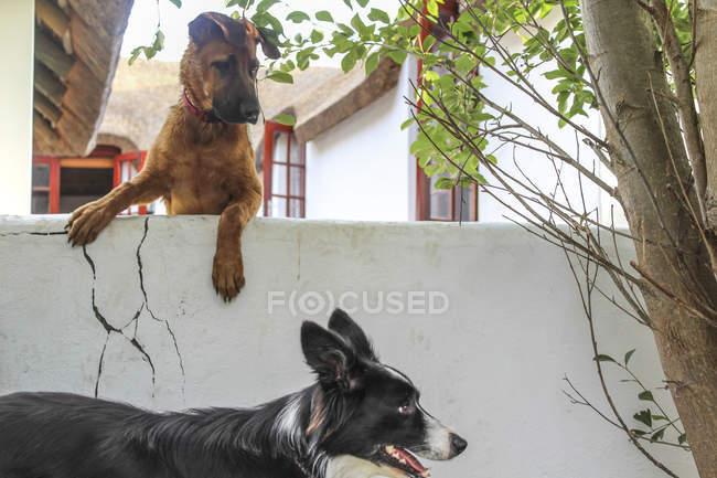 Дивлячись через стіни, щоб інша собака собака — стокове фото