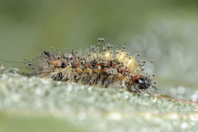 Chenille humide de la teigne rouillée de la chaussette, Orgyia antiqua — Photo de stock