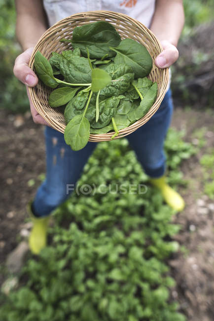 Hands holding fresh picked spinach — Stock Photo