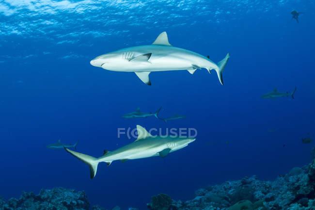 Океанія, Східний Тимор, Яп, сіра рифова акул в блакитна вода — стокове фото