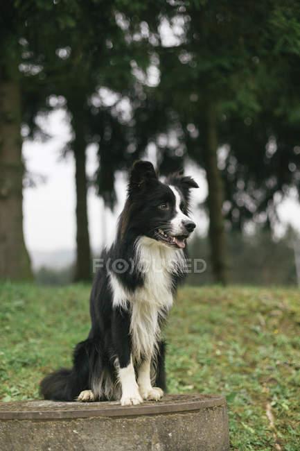 Черно-белый Бордерколли, сидящий на природе — стоковое фото