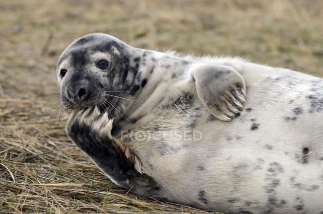 Selo cinzento jovem deitado no prado durante o dia — Fotografia de Stock