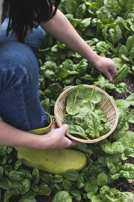 Сбор шпината в домашнем саду, био шпинат — стоковое фото