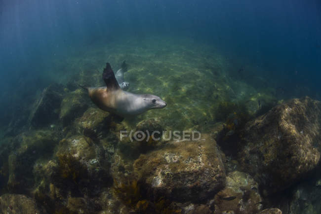 Австралія, порт-Лінкольн, Sealions, плавання під водою — стокове фото