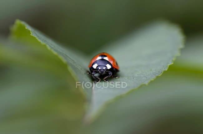 Sieben gefleckten Marienkäfer Coccinella Septempunctata, auf einem Blatt — Stockfoto