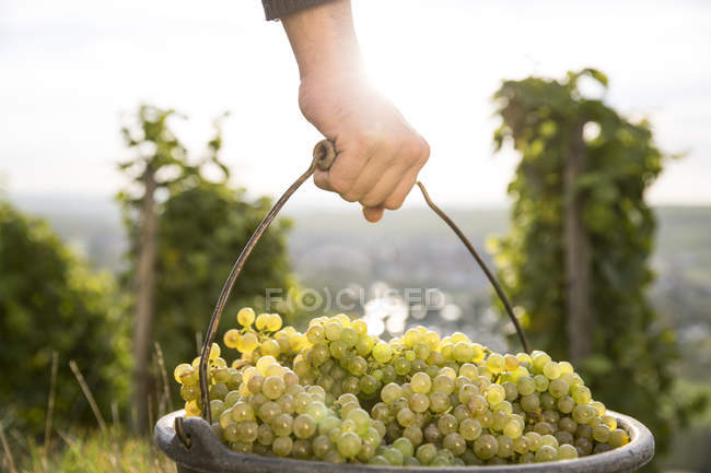Close-up of man carrying bucket of harvested grapes — Stock Photo