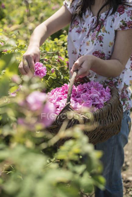 Жінка, вибираючи троянда розквітає у саду — стокове фото