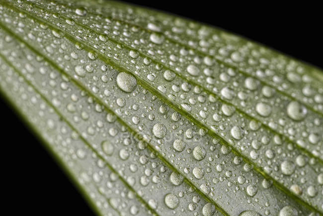 Leaf with waterdrops on black background — Stock Photo