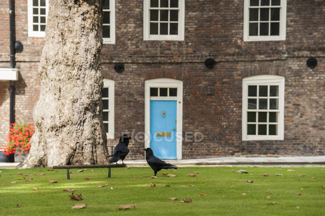 United Kingdom, England, London, Tower of London, ravens on meadow — Stock Photo