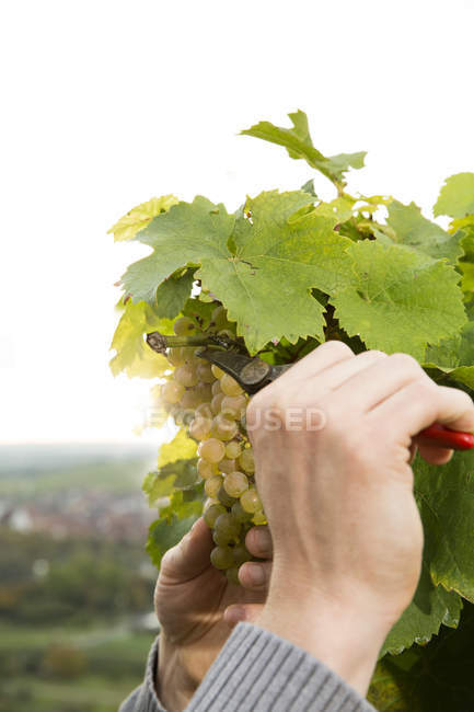 Close-up of winegrower harvesting green grapes in vineyard — Stock Photo