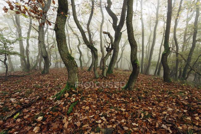 Германии, в земле Рейнланд-Пфальц, Boppard-Weiler, Осенний лес в тумане — стоковое фото
